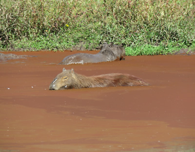 Carpinchos o Capibaras