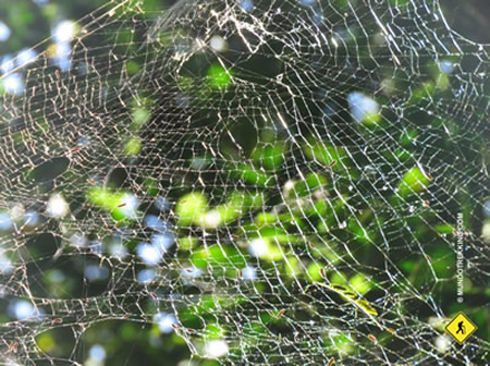 Tela de arañas en la selva misionera