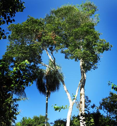 Palo Rosa un arbol en peligro de extinción  que aun vive en la provincia de Misiones